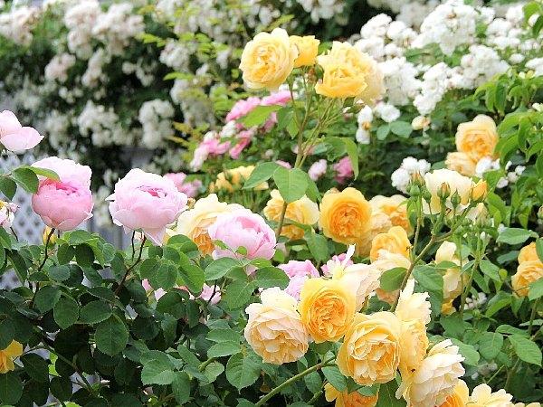 バラが盛りの5月の庭