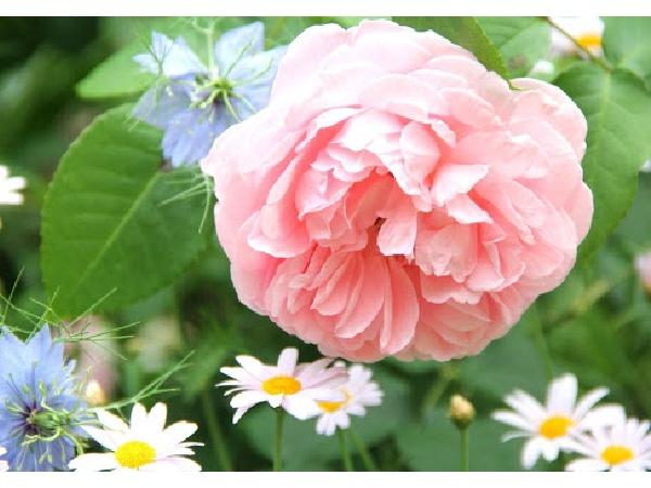 素敵なバラの庭づくり